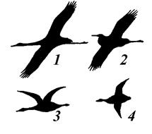 Πιπίλισμα μεγάλο μαύρο πουλί φωτογραφίες